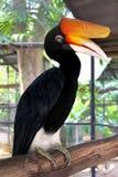 Great hornbill Royalty Free Stock Photo