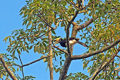 Great hornbill on the tree Royalty Free Stock Images
