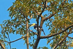 Great hornbill on the tree Royalty Free Stock Photos