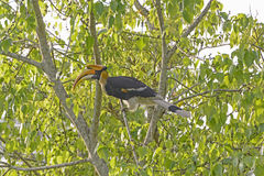 Great Hornbill in a Tree Stock Photo