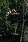 Great hornbill. Western Ghats of South India. Aliyar range Royalty Free Stock Photos