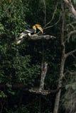 Great hornbill. Western Ghats of South India. Aliyar range Royalty Free Stock Photos