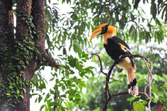 Great hornbilll Royalty Free Stock Image