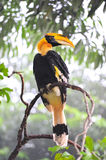 Great hornbilll. On the Roof Stock Photos