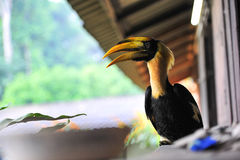 Great hornbilll Royalty Free Stock Images
