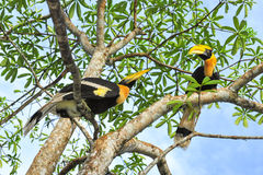 Great hornbilll. Two Great hornbilll on the  tree Stock Photos