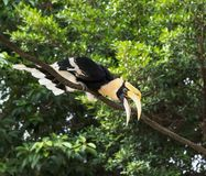 Great hornbills in rainforest. In forest royalty free stock photography