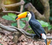 Great hornbills in rainforest. In zoo royalty free stock image