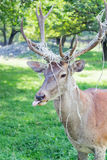 Great horned deer showing tongue Stock Photography