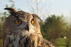 Great horned eagle owl looking through you Royalty Free Stock Image