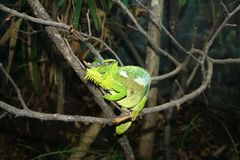 Great Horned Lizard Stock Photo