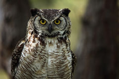 Great Horned Owl. Closeup of a Great Horned Owl against a blurred background Royalty Free Stock Images