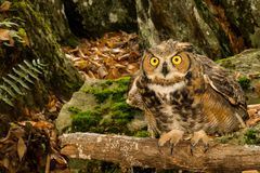 Free Great Horned Owl Royalty Free Stock Photos - 103142668