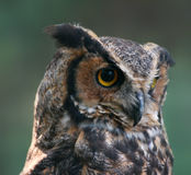 Great Horned Owl. Close-up of Great Horned Owl (Bubo Virginianus Royalty Free Stock Image