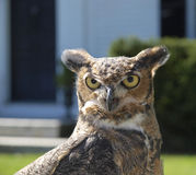 Great Horned Owl Stock Image