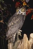 Great Horned Owl. (Bubo virginianus Stock Image