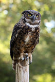 Great Horned Owl. Perching on a fence post Royalty Free Stock Images