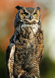 Great Horned Owl. Beautiful portrait of the Great Northern Horned Owl over vibrant autumn background stock photo