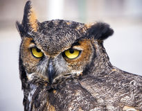 Great Horned Owl. With big bright yellow eyes Stock Image