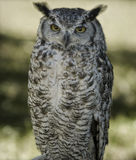 Great horned owl. Portrait of a great horned owl (bubo virginianus Stock Photo