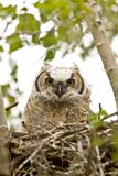 Great Horned Owl. Et in nest stock photo