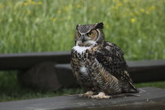 Great horned owl. Standing on the bench Royalty Free Stock Image