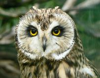 Great horned owl. Portrait of great horned owl royalty free stock photography