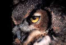 Great Horned Owl. Piercing gaze of the Great Horned Owl (Bubo virginianus stock photo