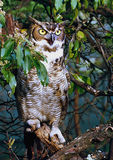 Great Horned Owl. This owl was housed in a rehab center in Maryland, tethered to a branch in a woods near Owing Mills, Md Stock Photos