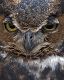 Great horned owl. Closeup of a great horned owl Royalty Free Stock Photos