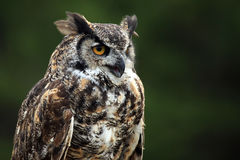 Great Horned Owl. Closeup of a Great Horned Owl against a blurred green background royalty free stock image