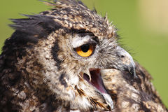 Great Horned Owl. Close up of Great Horned Owl Royalty Free Stock Photo