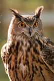 Great Horned Owl. Close up picture of Great Horned Owl staring with yellow eyes and blur in the background stock photo