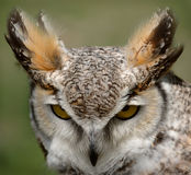 Great Horned Owl. Stare royalty free stock image