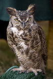 Great Horned Owl 2 Royalty Free Stock Photography