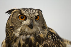 Great horned owl. Eyeballing its prey Stock Photo