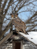 Great Horned Owl. Perched on old shed, staring at camera Stock Image