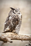Great Horned Owl. A great horned owl perched away from its nest on a branch Royalty Free Stock Photos