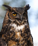 Great Horned Owl. On alert stock photography