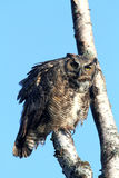 Great Horned Owl. Staring into the camera royalty free stock photos