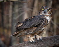 Great Horned Owl. Captive owl posing on tree branch Stock Photo