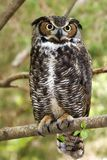 Great Horned Owl. Standing on a Tree Limb Stock Photo