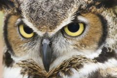 Great Horned Owl Eyes. A Close Up Head Shot of a Great Horned Owl and its big eyes royalty free stock photography