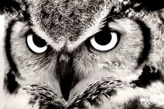 Great Horned Owl. Closeup in Black & White Stock Photos