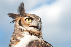 A Great Horned Owl Stock Image