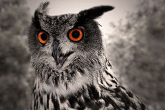 Free Great Horned Owl Royalty Free Stock Images - 25947419