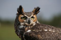 Great-horned Owl Royalty Free Stock Photography