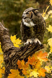 Great Horned Owl. A Great Horned Owl sits in a tree surrounded by autumn leaves Stock Photos