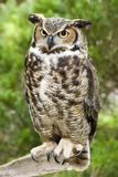 Great Horned Owl. Standing on a Tree Branch Stock Images