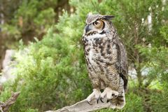 Great Horned Owl. Standing on a Branch Royalty Free Stock Photography